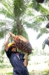 RPCs a challenge to oil palm opponents