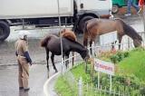 Ponies turn pests