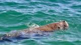 Rare sighting: Five live dugongs