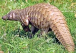 Pangolins for a mess of pottage