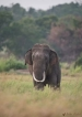 The ignoble end of an iconic tusker