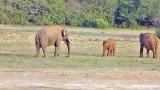 What caused lonely death of Kallaru tusker?