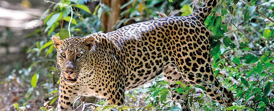 WNPS lecture: Leopards under the spotlight
