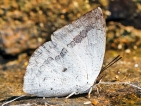 Shiva Sunbeam: Another new  butterfly for Sri Lanka, the 248th