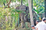 Bellanwila prelate dies from accident when feeding temple elephant