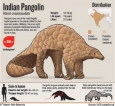 Why pangolin's armour is  now its greatest weakness