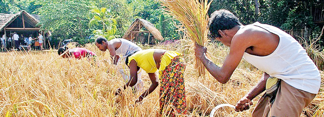 Anantara Peace Haven Tangalle celebrates its first rice harvest