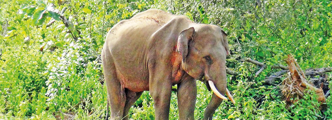Elephant known among the villagers