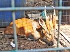 Drought drives deer to poachers' trap