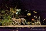 Tackling India's human-  leopard conflict