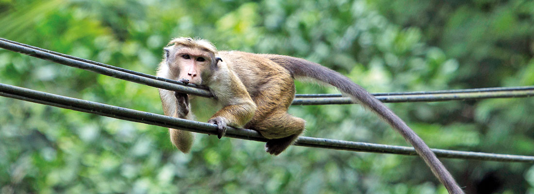 Too much monkey business causing havoc on many fronts
