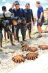 SL Navy bags Crown-of-Thorns starfish haul