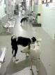 Stray-dog menace at Kalubowila Hospital