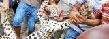 Mob-style leopard killing – Lanka's day of shame