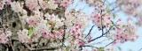 Cherry blossoms bloom  in Nuwara Eliya