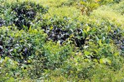 Tea-weeds