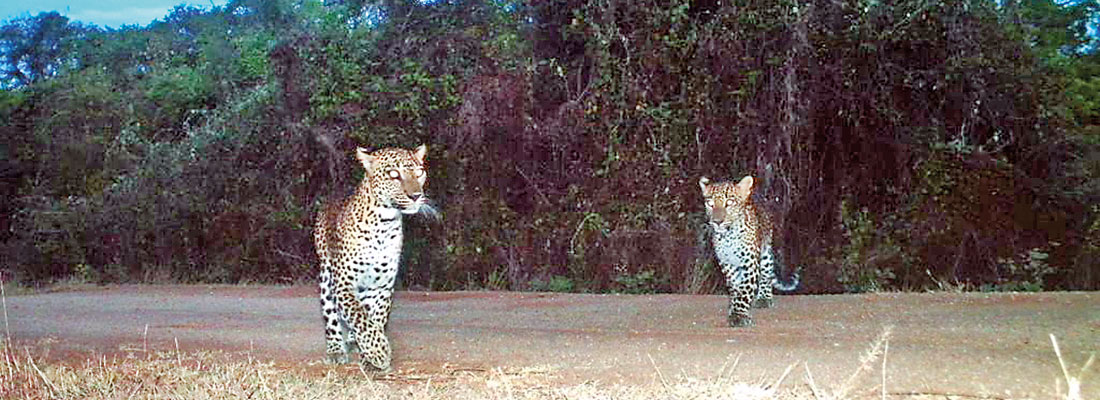 Camera trapping the elusive leopards of Wasgamuwa