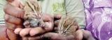 'Rescue' of wild cat babies backfires