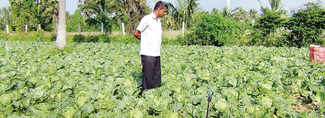 Caterpillar munches through Kalpitiya veggie crop