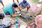 Sea turtles facing extinction
