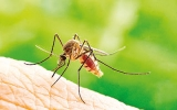 Giving mosquitoes diet pills could combat the spread of disease