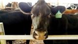 Milky dream turns sour  Farmers
