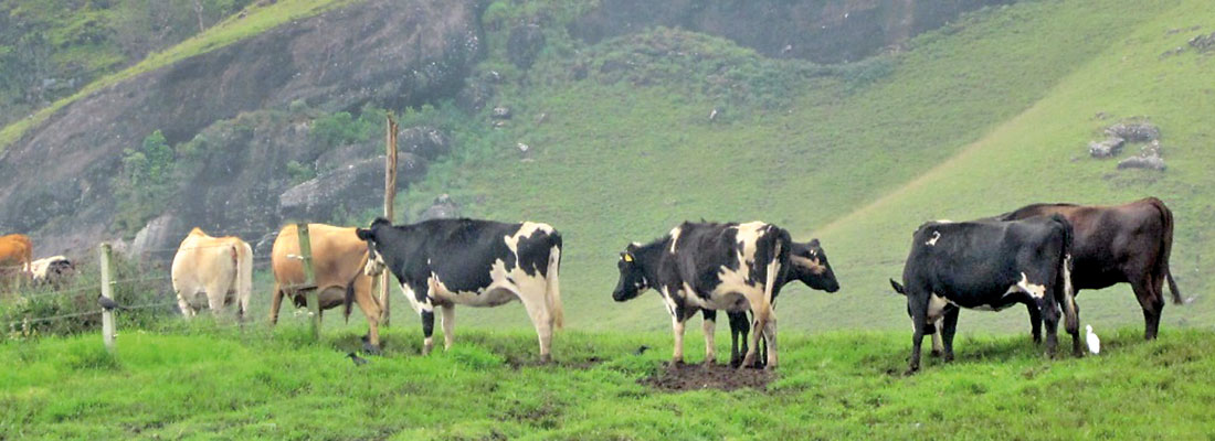 Importing exotic cows which performed poorly under local conditions