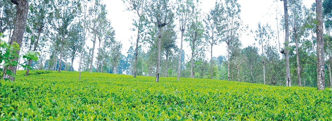 Bogawantalawa Tea set to become world's first Climate Positive plantation company