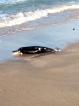 Dead baby dolphin on Kayankerni beach