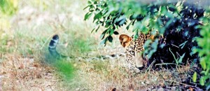 A possible man- eater on the prowl inYala?