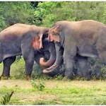 Two young bull elephants fight during the mating season