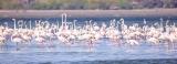 Flamingos flock to Nandikadal