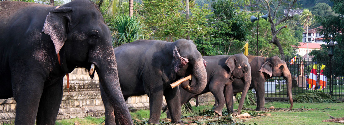 Spotlight on how elephants  are judged fit for peraheras