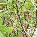Camouflaged-garden-lizard