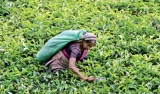 SL tea producers worry over growing discrepancy between auction price and export prices