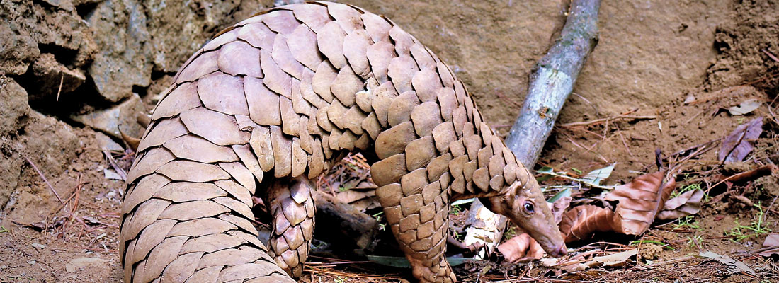 Study will help protect anteater targeted by smugglers