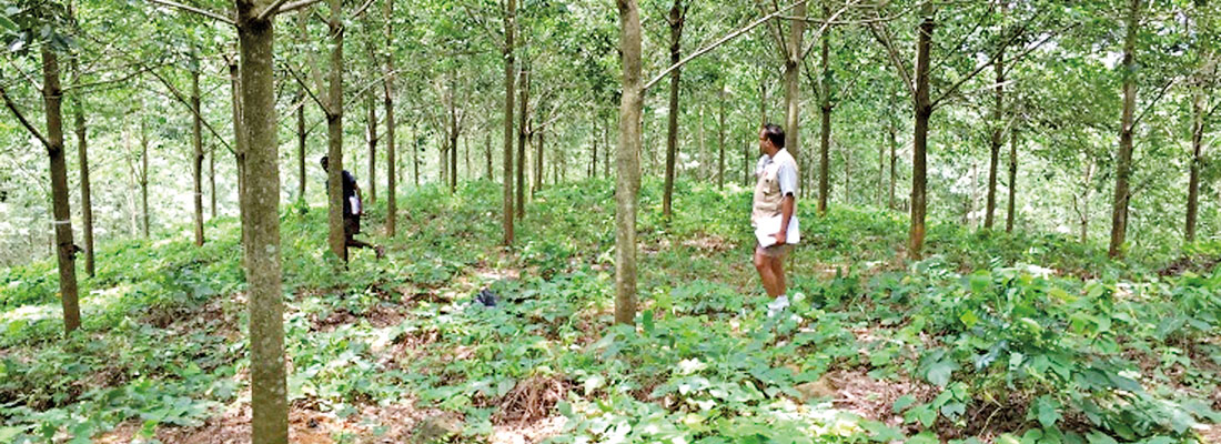 Natural rubber  cultivations can yet  be made profitable