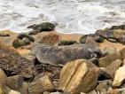 Antarctic seal in 'catastrophic moult': Expert