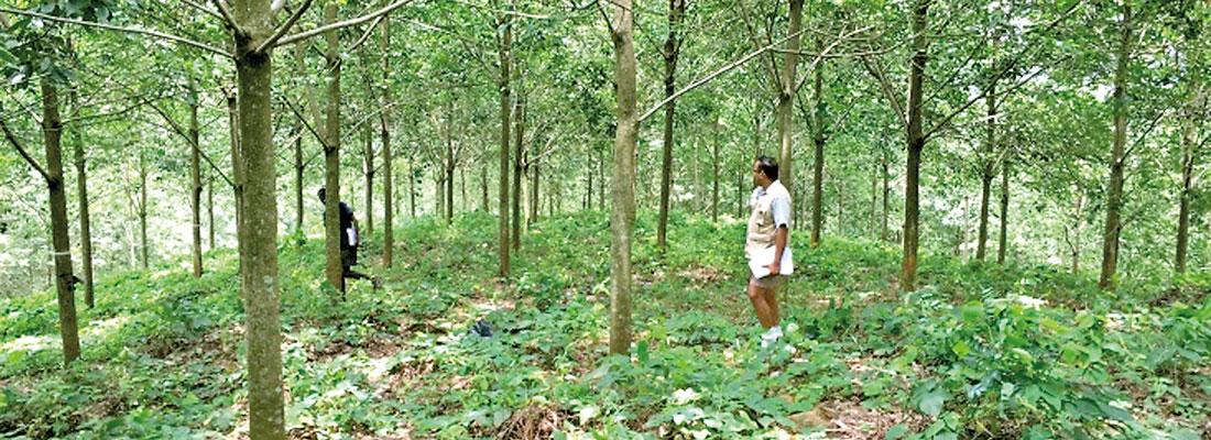Sri Lanka has to increase  natural rubber production