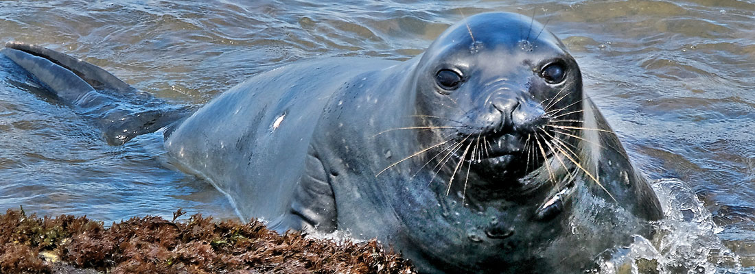 You better watch out – Antarctic  seal in town