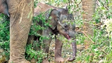 Happy ending as baby jumbo is rescued from hunter's trap