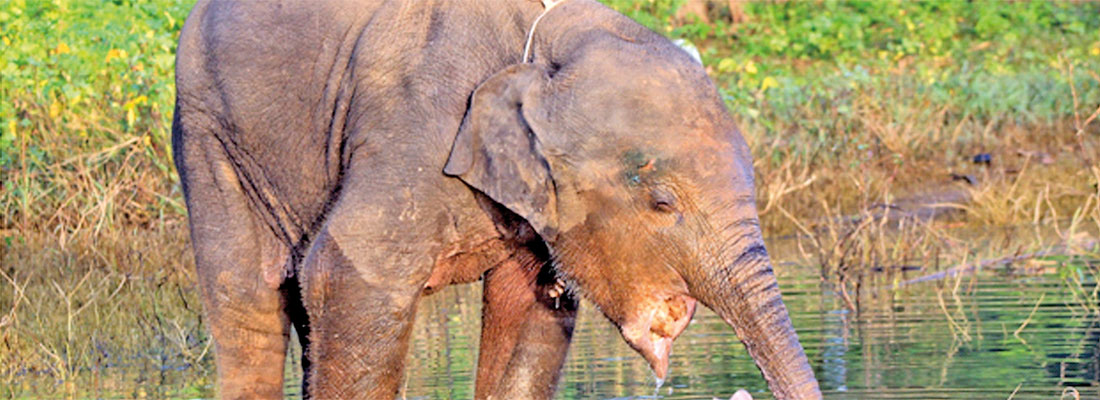 Horrifying rise in 'jaw bombs'   brings agonising death to jumbos