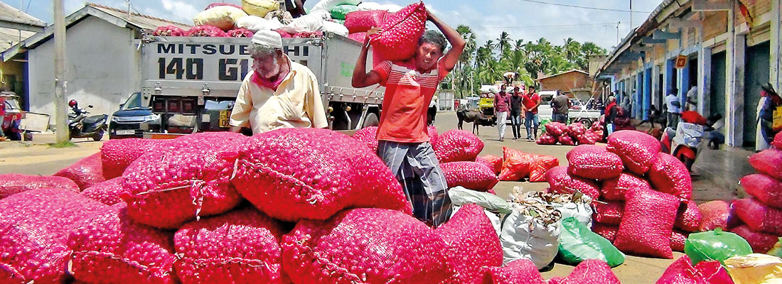 Onion cultivation leads to tears in Kalpitiya and Puttalam