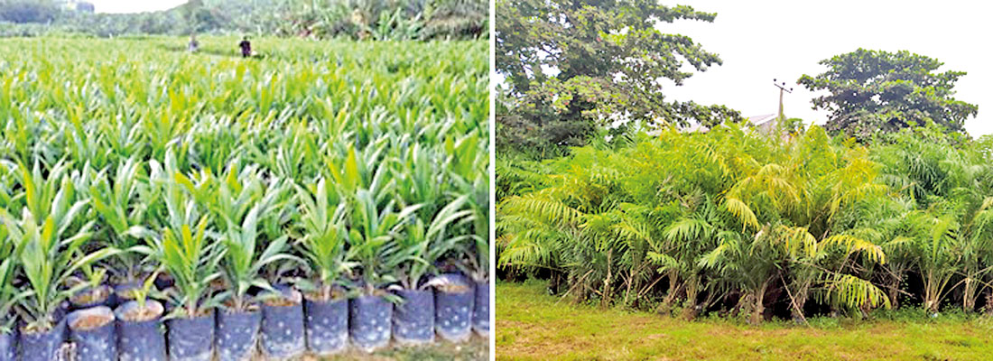 SL plantation companies to lose Rs.500 mln  due to govt. vacillation on oil palm