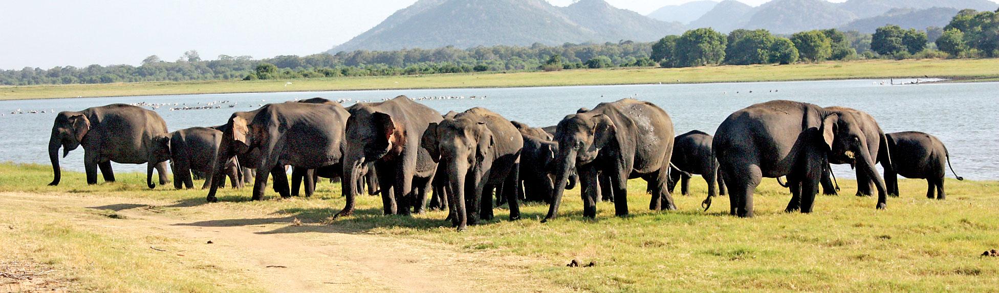 Minneriya's 'Gathering'   beckons wildlife enthusiasts