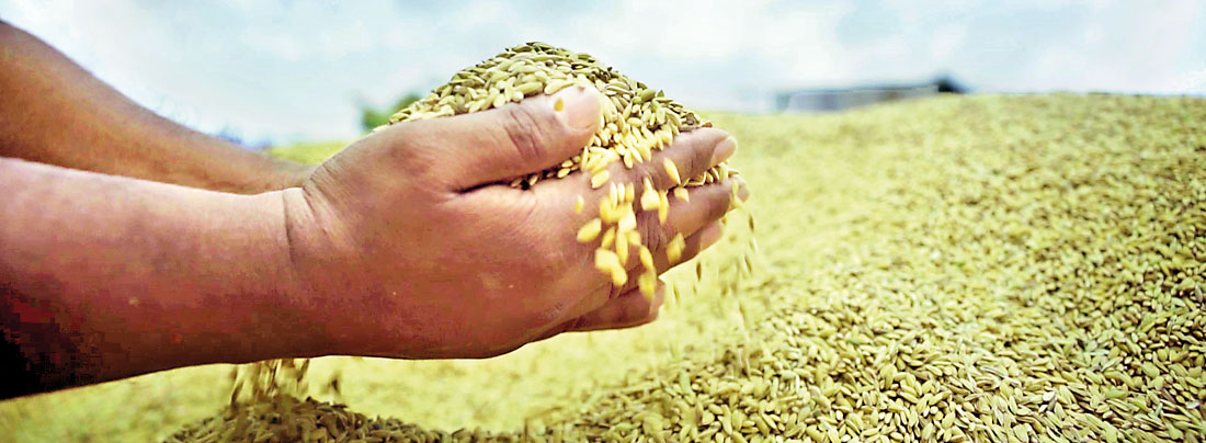Crysbro strengthens Sri Lanka's food  security agenda with seed paddy production
