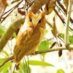Serendib-Scops-Owl