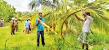 5,000 Puttalam District coconut trees destroyed by intruding elephants