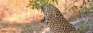 Click on to Zoom,  FB Live for leopards of Wilpattu