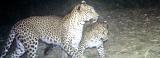 Let the leopard roam